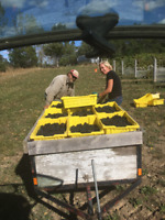 Grape Pickers and Tie Down workers needed