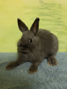 Netherland Dwarf Bunnies looking for forever homes!!
