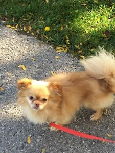 Timbit the long-haired Chihuahua London Ontario image 3