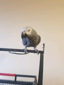 African grey male & umbrela cockatoo male looking for companion