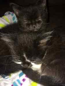 2 adorable female kittens-free to good home