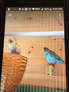6 month old female budgies