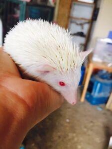 Jai 3 jeune albinos