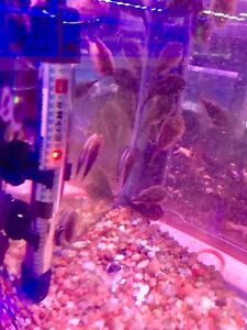 New Arrival - Chinese Pleco available in store