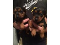 Rare black & tan jack Russell pups, READY NOW