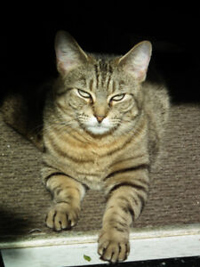 looking for lost friendly tabby