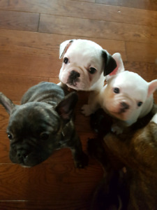 Adorable French bulldogs - 3 males available.