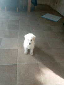 Toy poodle female puppy 9 weeks old!!!
