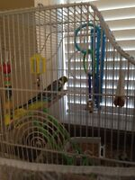 Parakeets/budgies for good home