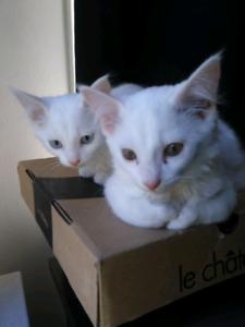 2 female white kittens 8-10 weeks