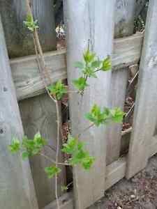 Perennial plant - Lilac