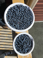 Freshly Picked Blueberries $20/gallon