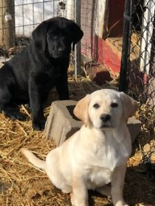 Lab Puppies Yellow and Black ( CKC Registered)