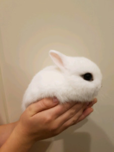 Adorable Baby Netherland Dwarf Bunnies - reduced!