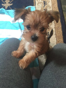 Cute and Adorable Yorkshire Terrier Teacup Puppy