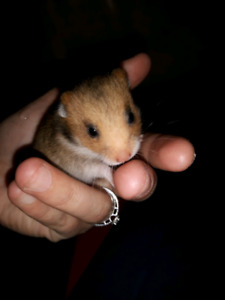 Adorable Hamsters for Rehoming!