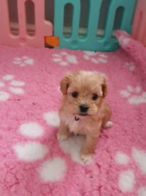 Shichonpoo puppies
