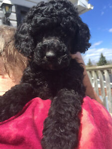 CKC Reg male mini poodle ready to go