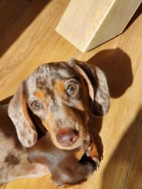 Miniature female dachshund chocolate cream dapple for sale