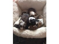 Shih-tzu pups for sale