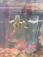 baby red eared slider turtles