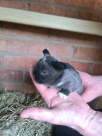 Stunning mini lop bunnies
