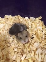 Baby campbell dwarf hamsters