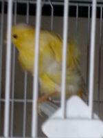 Beaux et Belles canaries  chanteur frisées du nord