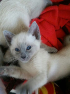 Purebred Blue Point Siamese Kittens