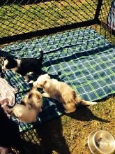 Border collies pups 2left for sale Picton Wollondilly Area Preview