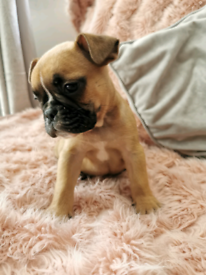 French x English Bulldog puppies for sale *only 1 left*