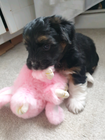 Lhasa apso x yorkie x puppies , 0nly one remaining