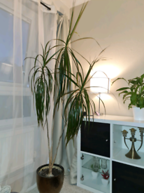 "Dragon Tree ""Marginata""+ pot , big and tall for Free"