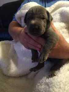 Great Dane Puppies For Sale!