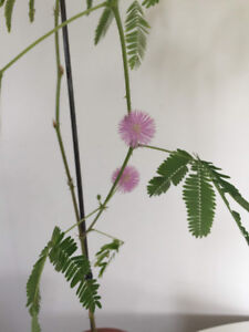 Sensitive Plant- mimosa pudica