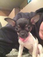 Tea Cup Chihuahua for sale!