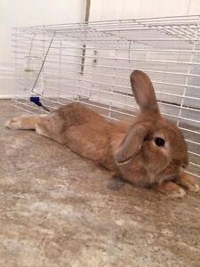 Beautiful and sweet lionhead bunny