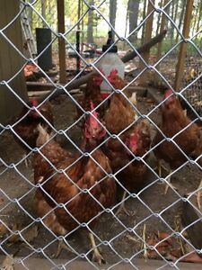 Lynden- adult layer chickens for sale