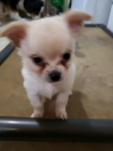 Only two left Long hair Chihuahuas
