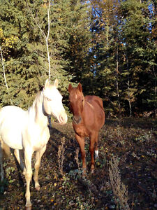 Herd reduction! Selling APHA and AQHA Strathcona County Edmonton Area image 10