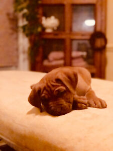 Mastiff X Puppies for Sale!  Ready to go on the 19th!