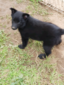 Kelpie x border collie pups