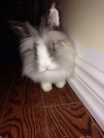 white/gray Lion Head bunny for adoption