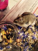 Young dwarf hamster for $5.