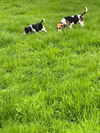 Cocker X beagle