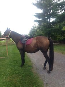 13 yr old thoroughbred for sale