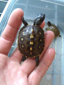 tortues boites et tortoises West Island Greater Montréal image 9