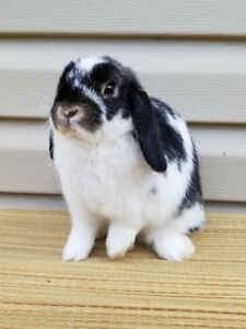 Purebred Holland lop and Netherland dwarf bunny