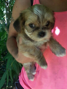 SHORKIES (Shih-tzu x Yorkie) delivery available 1 boy left