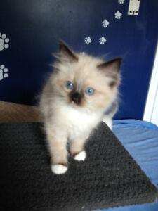 """TICA REG""""D  MITTED SEAL POINT  (ready in 2 weeks)"""
